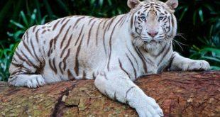 Chiêm bao mơ thấy con hổ là số mấy? đánh con gì?