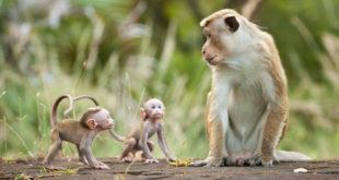 Chiêm bao mơ thấy khỉ là số mấy? đánh con gì?