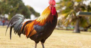 Chiêm bao mơ thấy con gà là số mấy? đánh con gì?