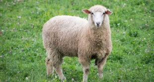 Chiêm bao mơ thấy con cừu là số mấy? đánh con gì?