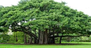 Chiêm bao mơ thấy cây cổ thụ là số mấy? đánh con gì?