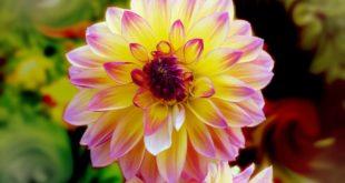 Chiêm bao mơ thấy hoa nở là số mấy? đánh con gì?