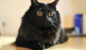 Chiêm bao mơ thấy mèo đen là số mấy? đánh con gì?