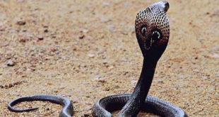 Chiêm bao mơ thấy rắn hổ mang là số mấy? đánh con gì?