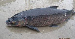 Chiêm bao mơ thấy cá trắm là số mấy? đánh con gì?