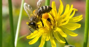 Ong vào nhà tốt hay xấu? có xui không? đánh con gì?
