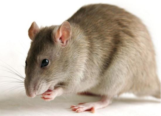 Chuột cắn có điềm gì? có xui không? đánh con gì?